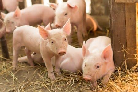 Onderzoek - Minder antibiotica in de veesector met homeopathie