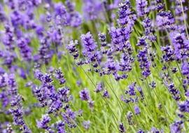 Lavendula Officinalis (Lavendel)