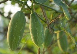 Luffa Operculata (Sponskomkommer)
